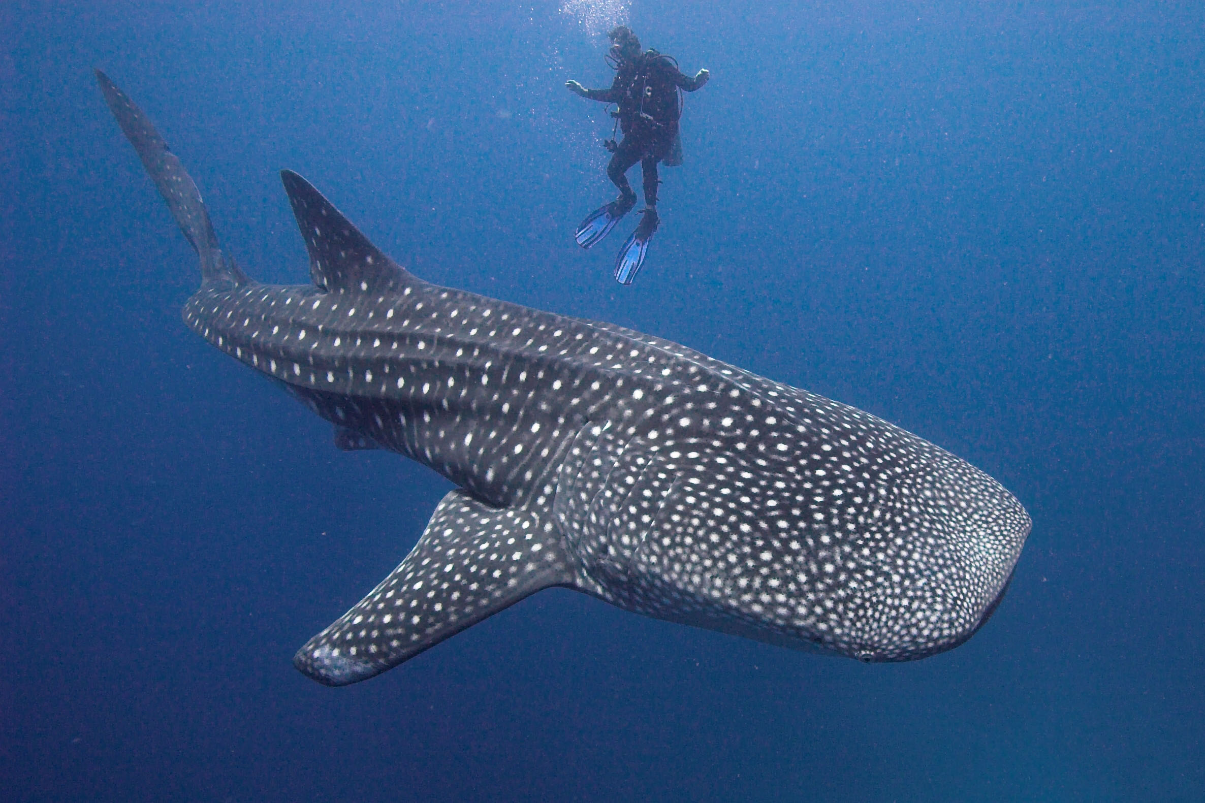 Giant Whale Shark Compared To Human